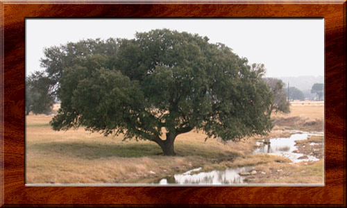 Magnificent live oak near Driftwood, Texa